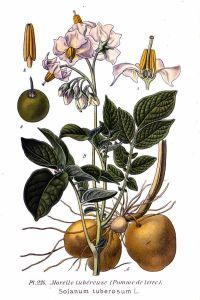 dd9b095dbd5aa5565d2f7cfbba8ad52f-potato-print-botanical-illustration